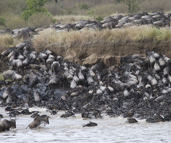 Wildebeests (Connochaetes) finding an exit of a crossing of the Mara river, Masai Mara National Reserve, Kenya, 1